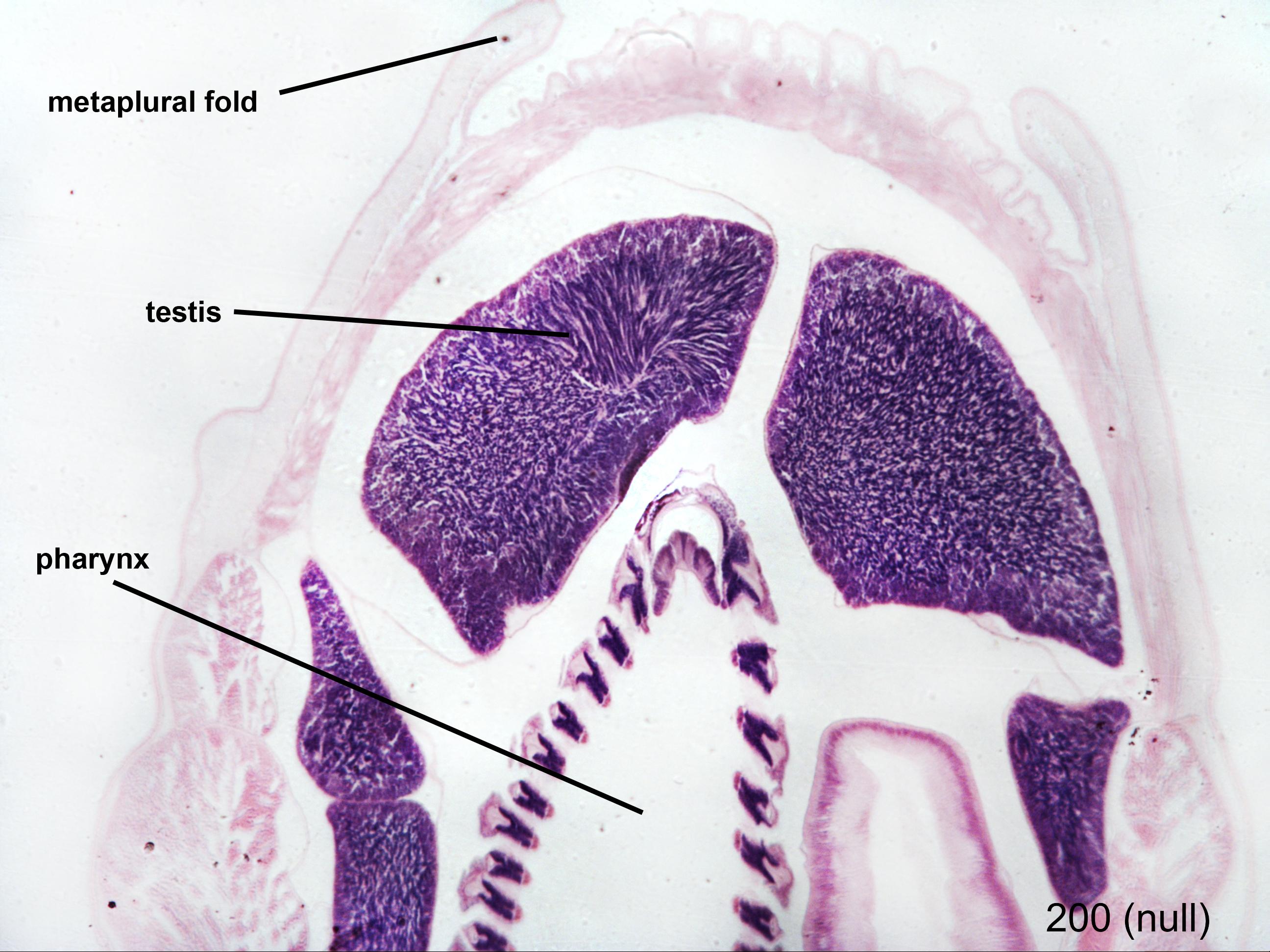 amphioxus-male-4x | NP Histology