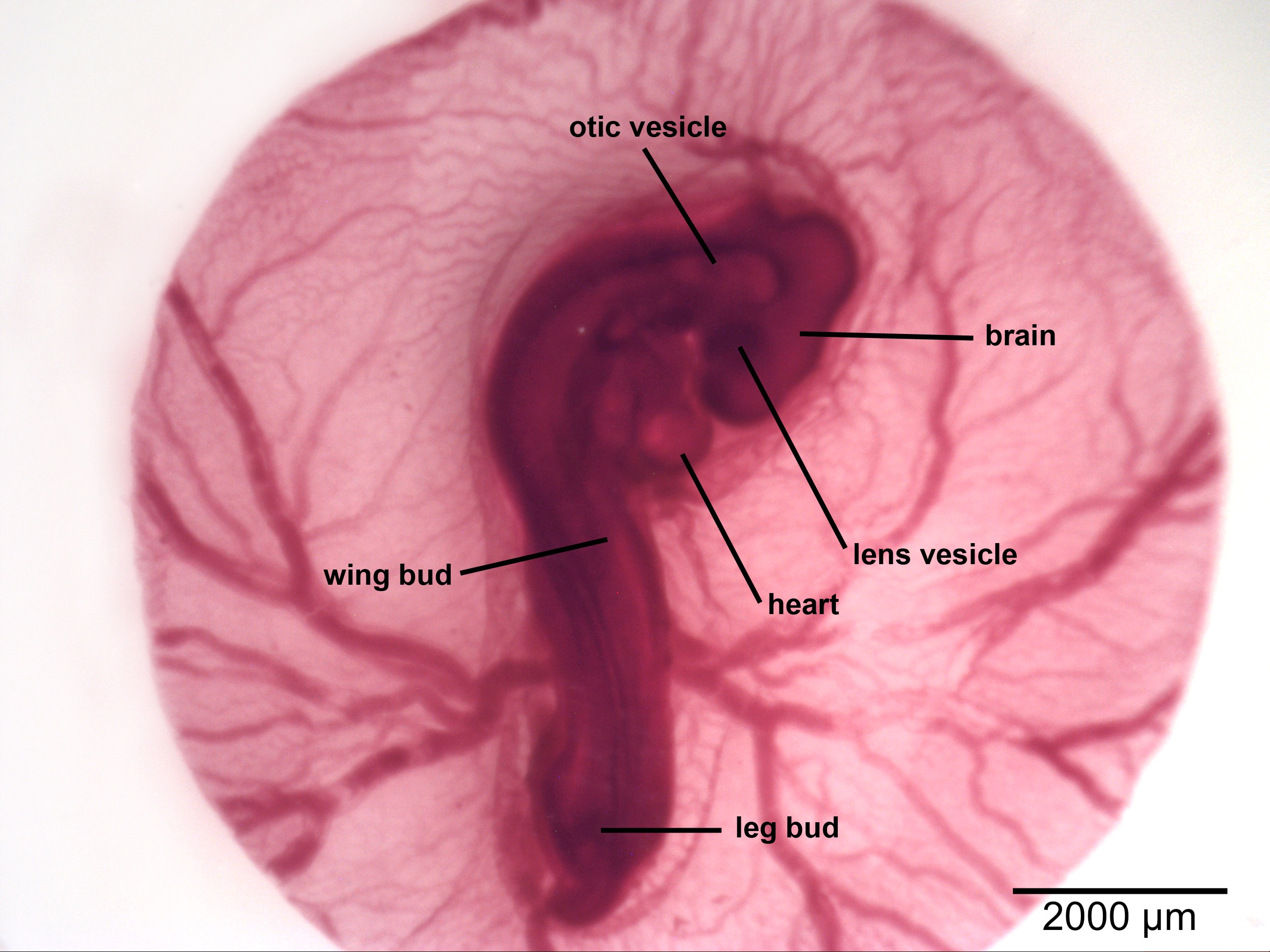 the chick embryo As one can easily see, the embryo at 96 hours already takes on a new form than that of 33 hours in this diagram, the ventricle is established, along with the.