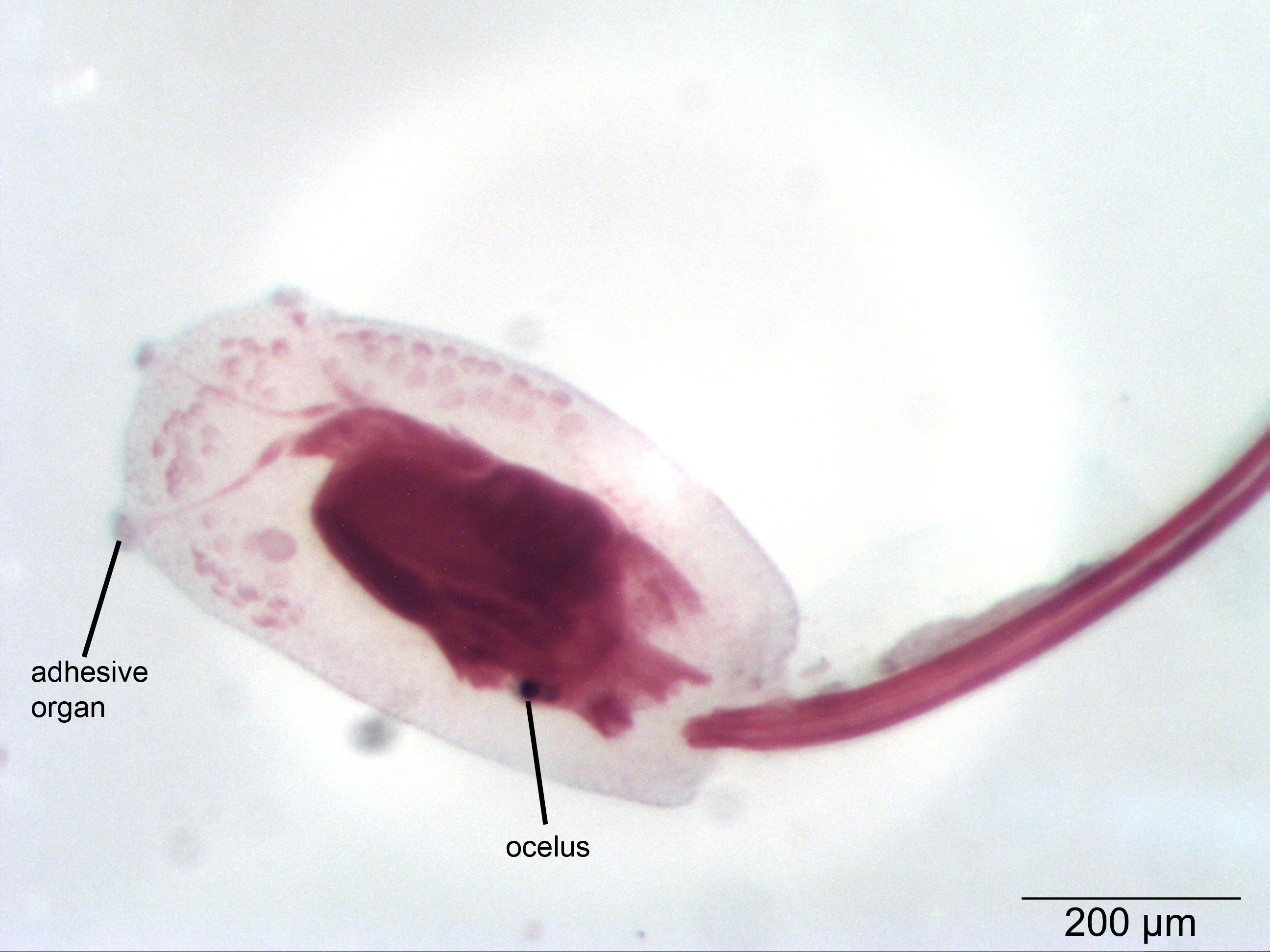 Basal Chordates | NP Histology