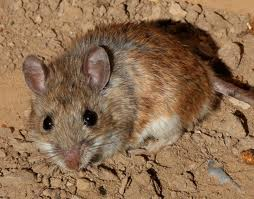 The white-footed mouse is the Lyme reservoir targeted by the U.S. Biologic-funded vaccine. Photo Credit: J.N. Stuart